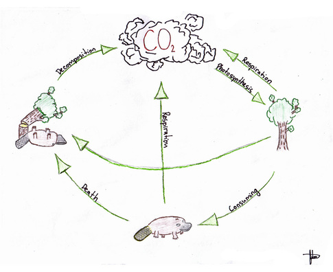 The change of climates carbon cycle this diagram shows what is happening during the carbon cycle the platypus symbolizes animals and the trees symbolizes the plants ccuart